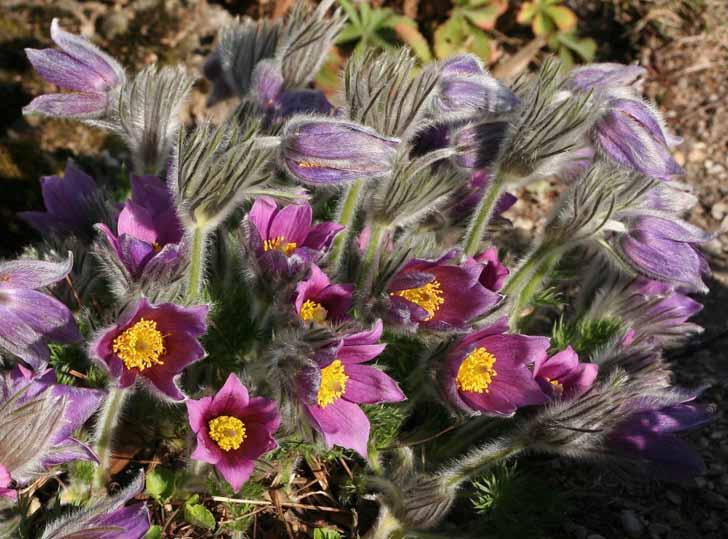 Колокольчатые цветки прострела могут иметь различную окраску. © Wolfgang Bayer
