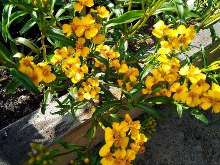 Бархатцы анисовые (Tagetes anisata) «Анисовый аромат». © Seedspost