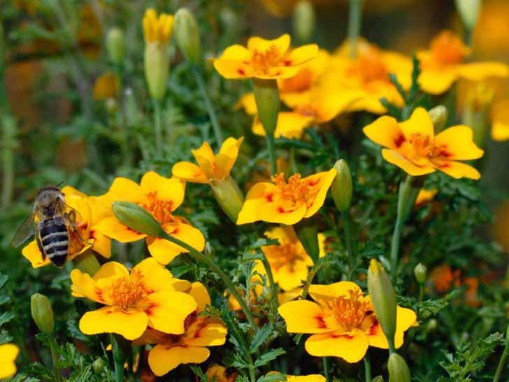 Бархатцы лучистые (Tagetes lucida). © Special Plants Nursery