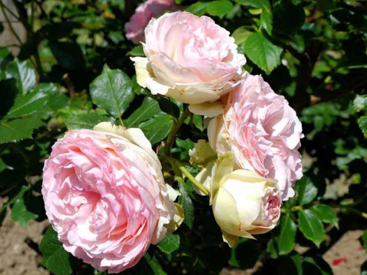 Роза столистная (Rosa centifolia). © rudi_valtiner