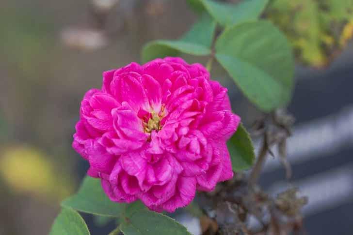 Роза дамасская (Rosa damascene). © PierreSelim