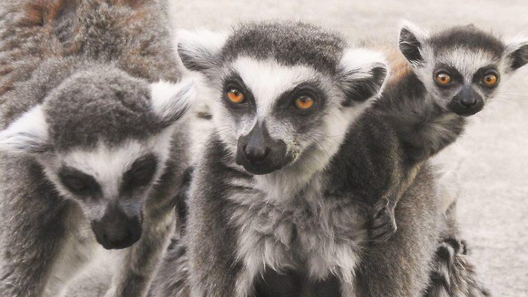 Два детеныша кошачьих лемуров родились в Московском зоопарке