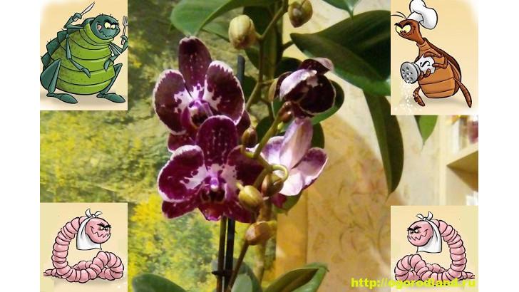 Насекомые на орхидее. Как бороться с вредителями орхидеи
