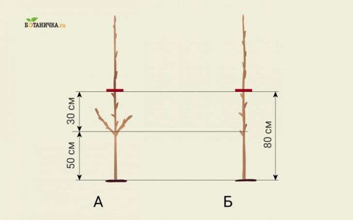 Обрезка саженца яблони после посадки: А – образка саженца с боковыми побегами, Б – образка саженца без боковых побегов