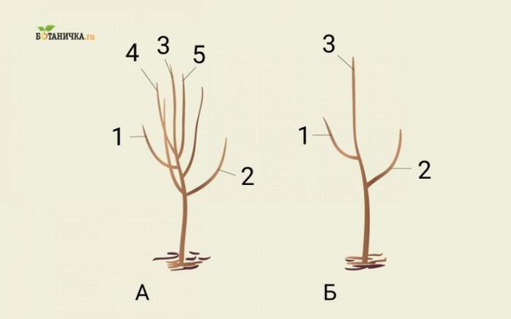 Формирование кроны юной яблони: А – саженец до обрезки, Б – саженец после формирования первого яруса кроны. 1 и 2 – ветви первого яруса, 3 – центральный проводник, 4 и 5 – ветки, подлежащие обрезке