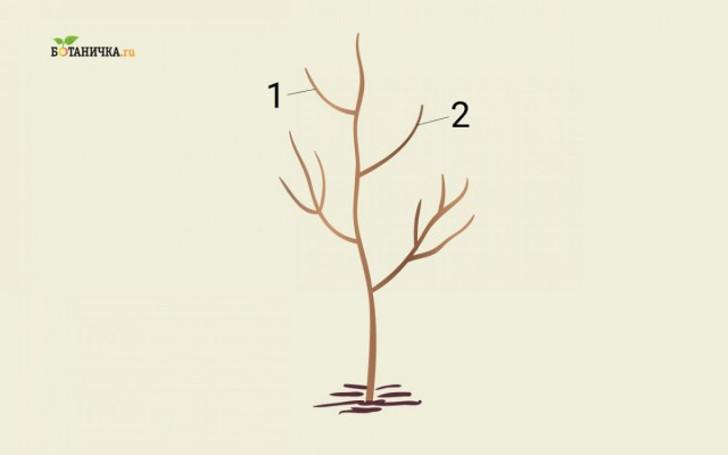 Формирование кроны юной яблони: ветки 1 и 2 – каркасные ветки второго яруса кроны