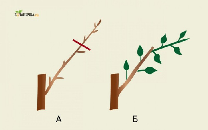 Обрезка каркасных веток яблони: А – ветка до обрезки, Б – каркасная ветка после обрезки с новым побегом