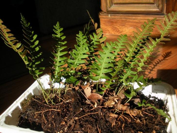 Полиподиум виргинский (Polypodium virginianum). © Samuel Thomas
