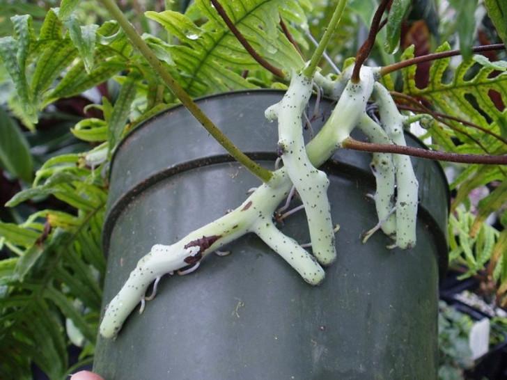 Мощные корневища полиподиума часто проламывают пластик или вылазят из горшка при несвоевременной пересадке. © squarespace