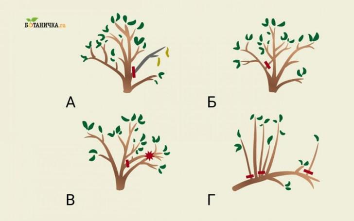 Формирующая обрезка молодой плодоносящей яблони направлена на удаление: А – мертвых ветвей, Б – растущих внутрь, В – трущихся друг с другом, Г – загущающих крону побегов