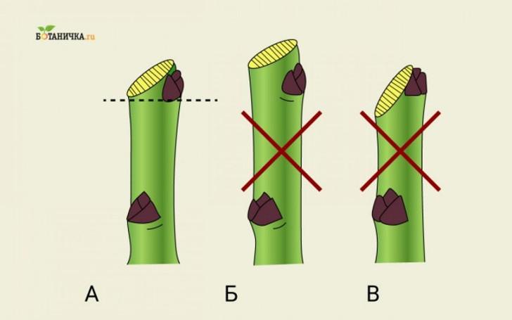 Техника обрезки ветвей: А – правильно, Б и В – неправильно