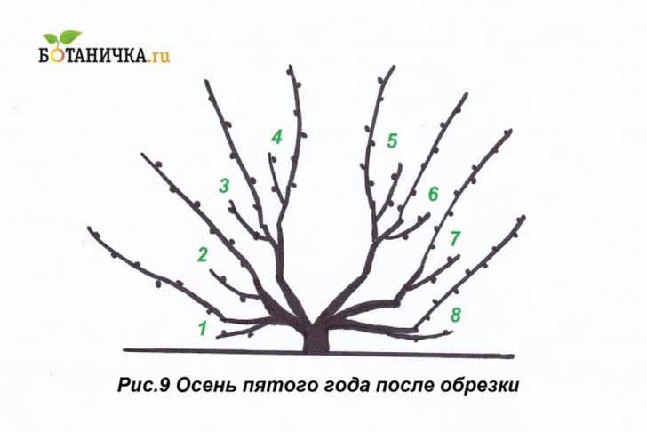 После обрезки на 5-й год на кусте должно быть сформировано 8 плодовых пар