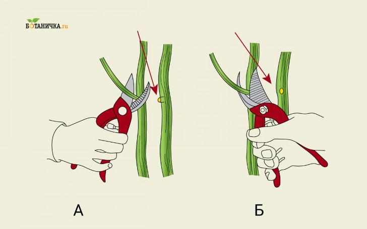 А – неправильная обрезка ветви, Б – правильная обрезка ветви