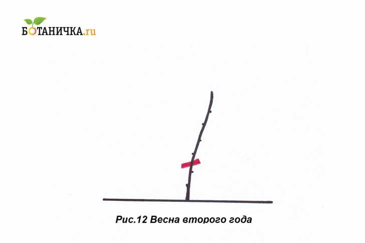 Перезимовавшую под укрытием лозу раскрывают и обрезают, оставляя две почки над поверхностью земли