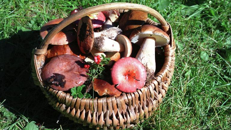 Как правильно собирать грибы, чтобы не отравиться