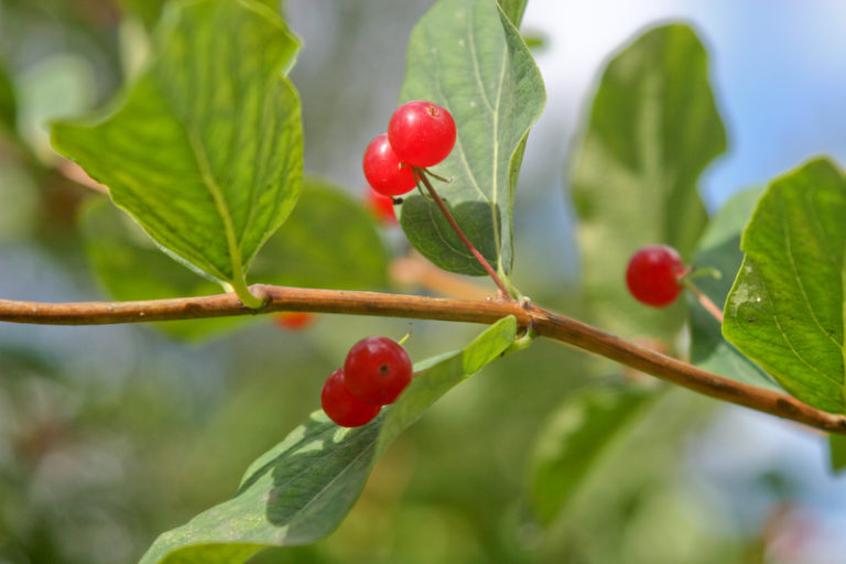 В Подмосковье начался сезон ядовитых ягод