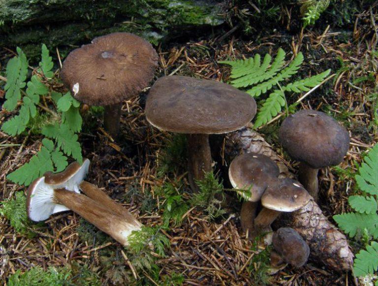 Редкий гриб осваивает клинские леса