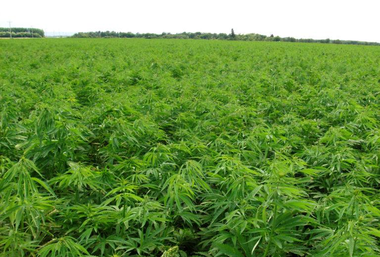В Солнечногорске более 5 тысяч гектаров засеют коноплёй
