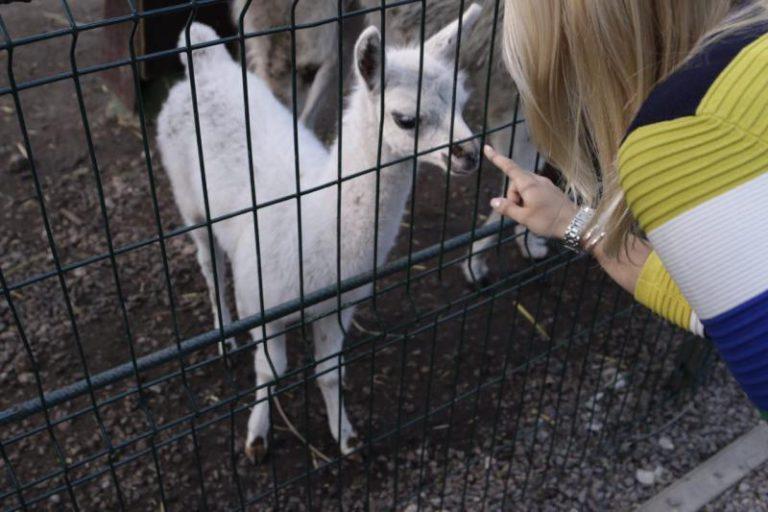 Перуанскую ламу убили собаки из Химок