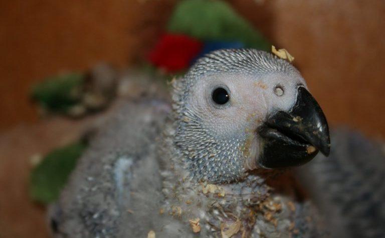 Мёртвый попугай получился дороже живого