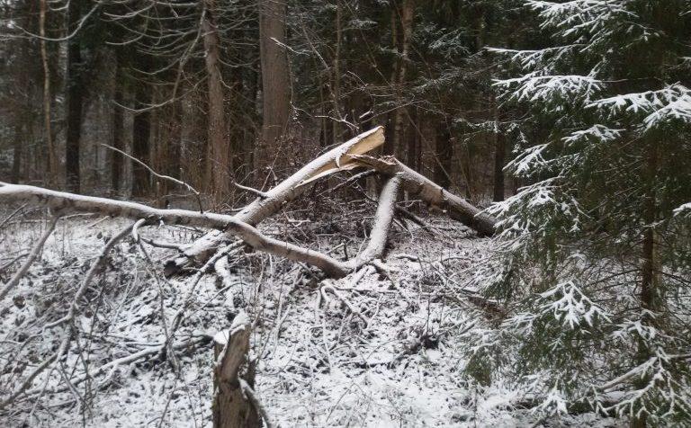 Клин: снег принёс лесоповал