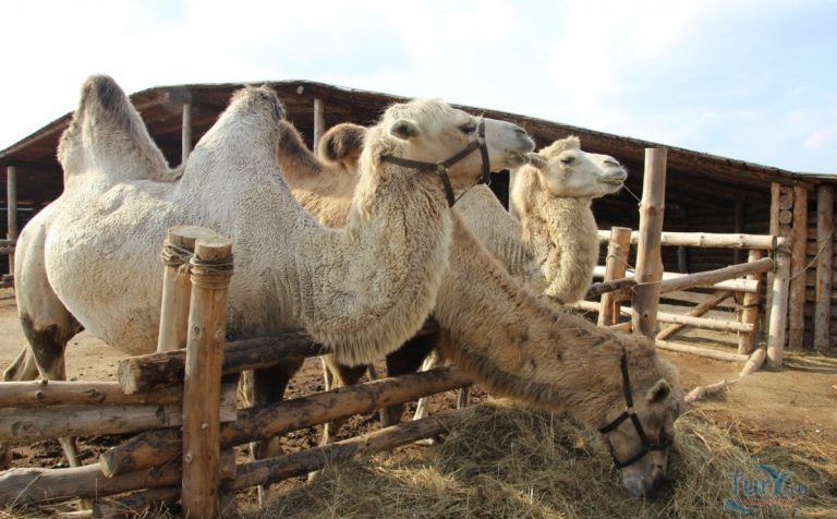 Новогодние ёлки в Подмосковье скормили верблюдам