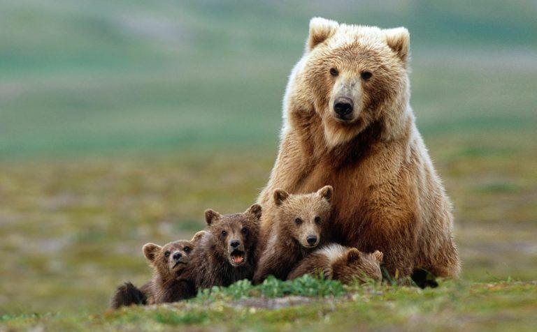 Клинский лес: «Превед, медвед!»
