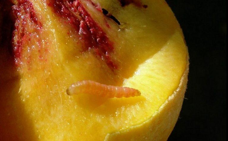 Плодожорку не пустили в Подмосковье