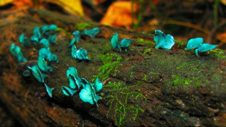 В Подмосковье появились «Смурфо-грибы»