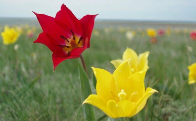 Фотовыставка дикорастущих тюльпанов пройдёт в Клину
