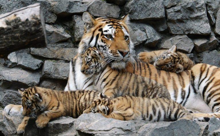 Под Волоколамском в Центре воспроизводства редких видов животных Московского зоопарка, родились амурские тигрята