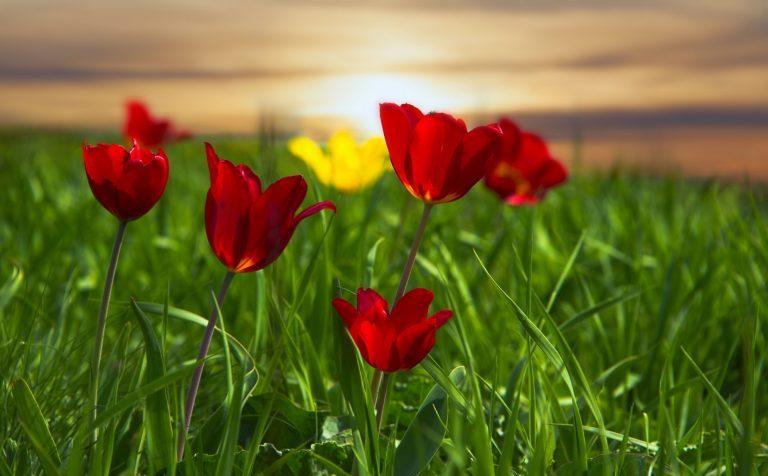 Выставка дикорастущих тюльпанов теперь в Клину