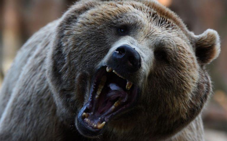 Ещё одна жертва нападения медведя в столичном регионе