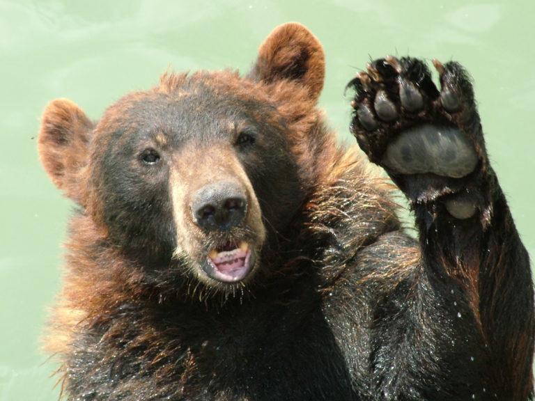 В Мытищах из леса к людям вышел бурый медведь